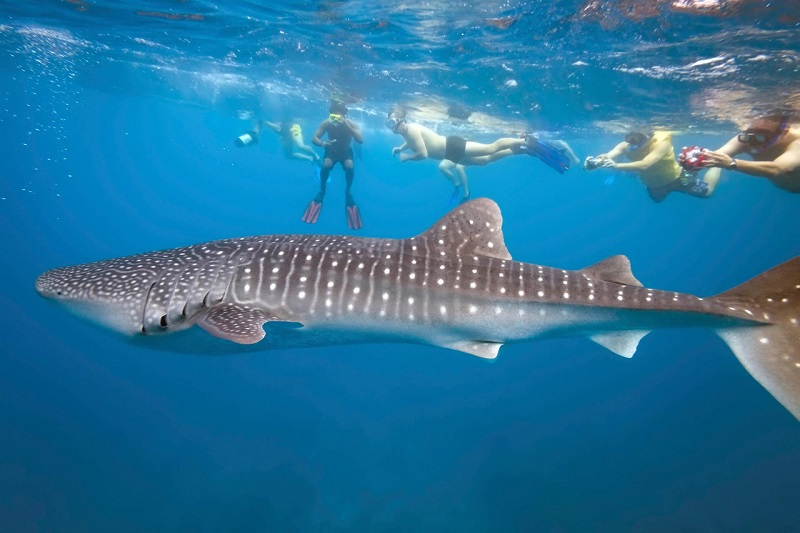 Baja-kayaking-tours-whale-shark-snorkel-group-t6